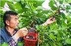 2017年4月19日,江苏徐州市丰县王沟镇赵集村村民张洪东种植的大棚桑葚成熟上市。