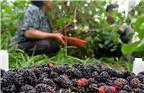 大棚桑葚比普通桑葚提前4个月上市,每公斤可卖到200元,为农民脱贫带来希望。图为王青村农民在大棚里采摘、包装桑葚。