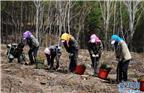 """工作人员在塞罕坝机械林场植树(2014年5月13日摄)。12月5日,联合国环境规划署宣布,中国塞罕坝林场建设者获得2017年联合国环保最高荣誉——""""地球卫士奖""""。塞罕坝林场位于中国河北省北部,占地9.3万公顷。由于历史上的过度采伐,土地日渐贫瘠,北方沙漠的风沙可以肆无忌惮地刮入北京。1962年,数百名务林人开始在这一地区种植树木,经过三代人努力将森林覆盖率从11.4%提高到80%。目前,这片人造林每年向北京和天津供应1.37亿立方米的清洁水,同时释放约54.5万吨氧气。新华社记者王晓摄"""
