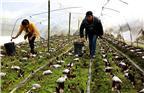 图为李强李萍夫妇正忙着采收羊肚菌。