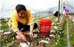 """""""一斤鲜菇,当前的市场能买到80到100元,大约8到10斤鲜菇能晾晒烘干成一斤干货,公司回收的价格也是六、七百元一斤。""""李萍一边采收一边介绍。"""
