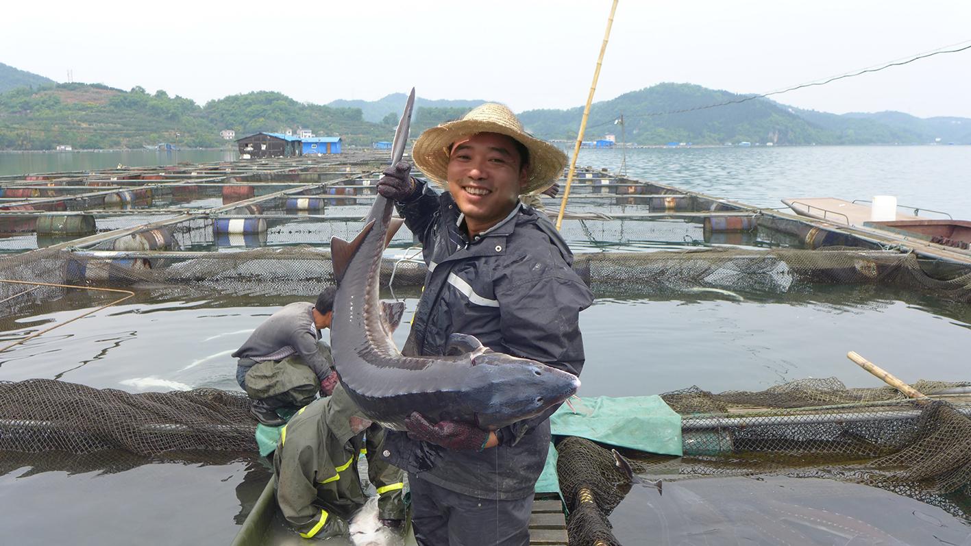 天马科技客户鲟鱼喜获丰收