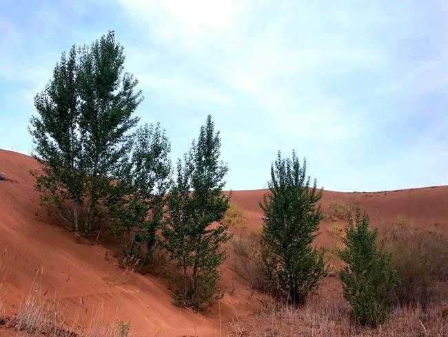 茁壮端直的杨树,透出烈日下奇迹般的沙漠生机。 吴丹/摄