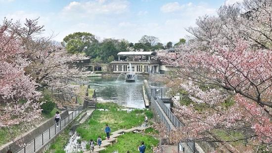 京都樱花。林晗/摄