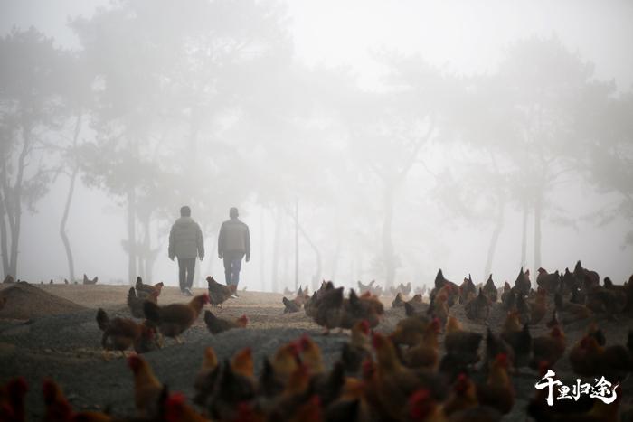 廖志其、廖茂航父子在广物集团和碧桂园帮扶鱼咀村的一个养鸡场选购。  摄影/吴军