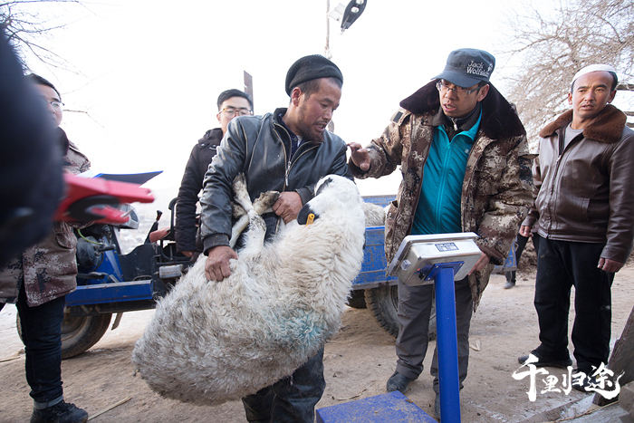 张韬和同事在五家乡牛沟村收羊。摄影/王晓东