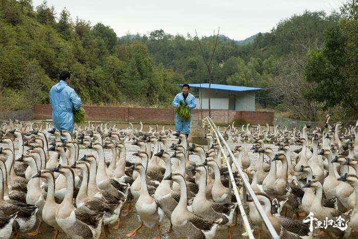 兴国是国家地理标志产品灰鹅的原产地,灰鹅肉质鲜美,自上世纪90年代起就源源不断地销往广东。 摄影记者/王晓东