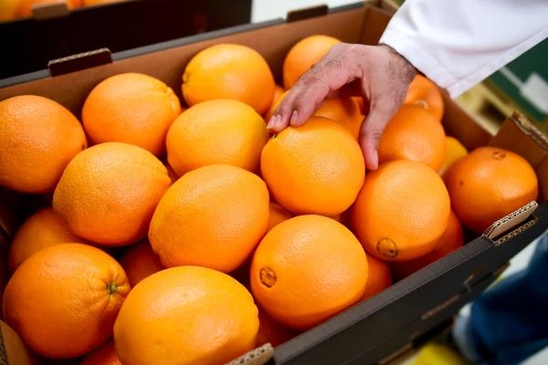 在埃及布海拉省的一家水果包装厂内,工人在检查分装完毕的鲜橙。埃及近几年对华鲜橙出口量成倍增长。新华社资料图