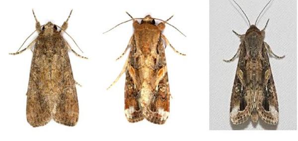 草地贪夜蛾成虫(左为雌蛾,中、右为雄蛾) 。图片来源:云南云县人民政府公开信息网