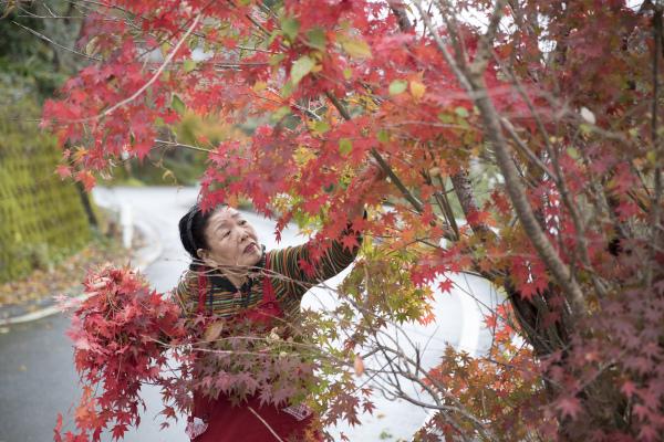在日本德岛县,81岁的西荫幸代在摘取红叶,清洗整理后提供给料理店等使用。新华社资料图