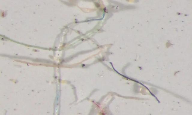 在显微镜下,美国科罗拉多州的雨水样本中含有彩虹状的塑料纤维。来源:USGS