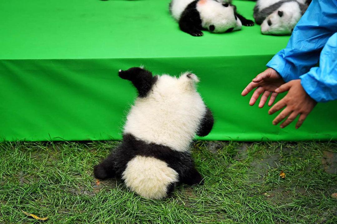 """熊猫宝宝摔进""""世界最佳图片"""" 盘点""""滚滚""""们的可爱瞬间"""