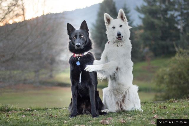 2017年6月14日报道,这对一黑一白的汪汪虽然毛色完全相反,但它们却是最完美的一对。Kaya是一只总是面带微笑的白色牧羊犬,Hades则是一只深黑貂色的德国牧羊犬,当它们的婚礼照片被登在了网上之后,迅速席卷网络。
