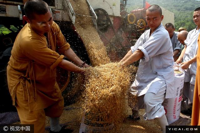 2017年6月15日,河南登封,几十位僧人在麦田中挥起镰刀,收麦、打谷,装袋,装车,在田间忙得热火朝天。当日,少林寺禅耕农场迎来了第三次丰收。