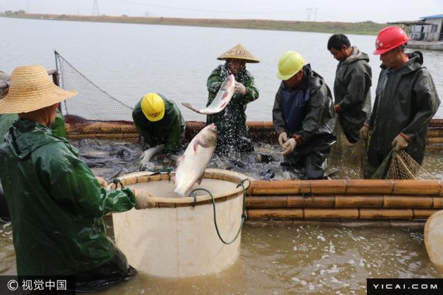 图为养殖户将捕获的河鱼进行分类。