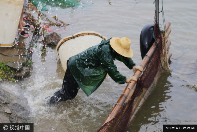 作为长江支流,繁昌县峨溪河河水养分丰富,当地大力发展绿色原生态养殖,通过在河中采取放养家鱼的模式,既净化了水质,也带动了农民增收致富。图为养殖户在围网捕鱼。