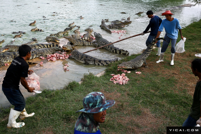 """位于泰国中部的阿育他亚府鳄鱼养殖场是泰国最大的鳄鱼养殖场之一,已经运营了35年。据估计,这里约有15万只鳄鱼。该养殖场场主Wichian Rueangnet说:""""这是一个多合一的养殖场,我们给人们提供就业机会,也为国家经济创收。""""图为阿育他亚府鳄鱼养殖场,工人在喂鳄鱼。"""