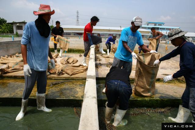 泰国阿育他亚府,工人们抓捕年轻的鳄鱼把它们装在袋子里。