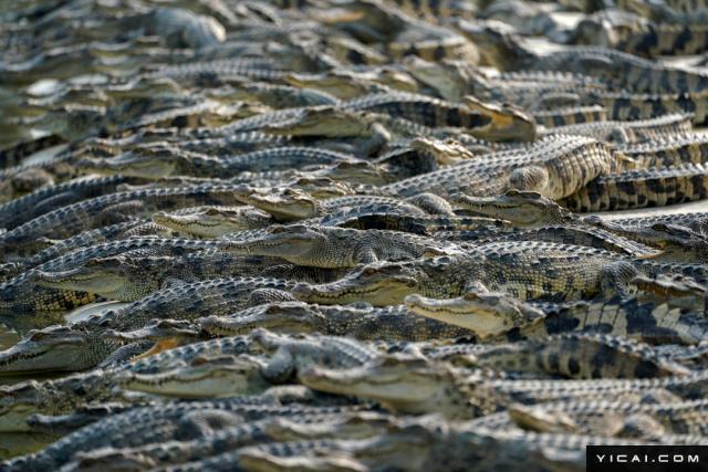 泰国阿育他亚府,一个鳄鱼湖里的鳄鱼。
