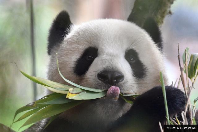 """当地时间2017年8月6日,德国柏林,大熊猫""""梦梦""""享用美味的竹子,憨态十足萌萌哒。"""