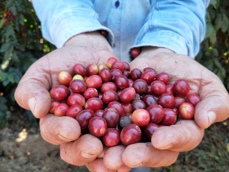 已成熟的咖啡豆
