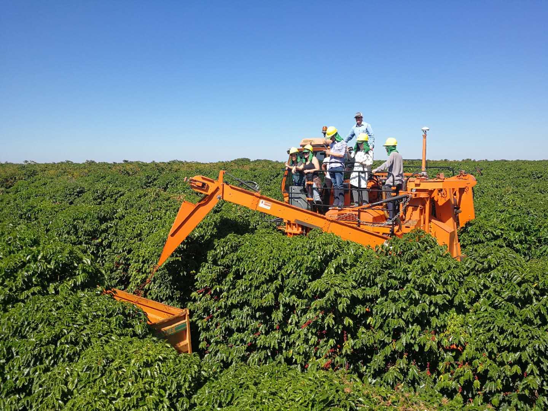 咖啡树的机械化采收