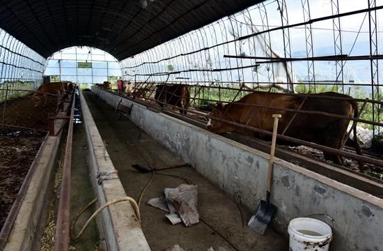 9月6日,位于珲春东北虎国家级自然保护区实验区的一家养牛场。摄影/章轲