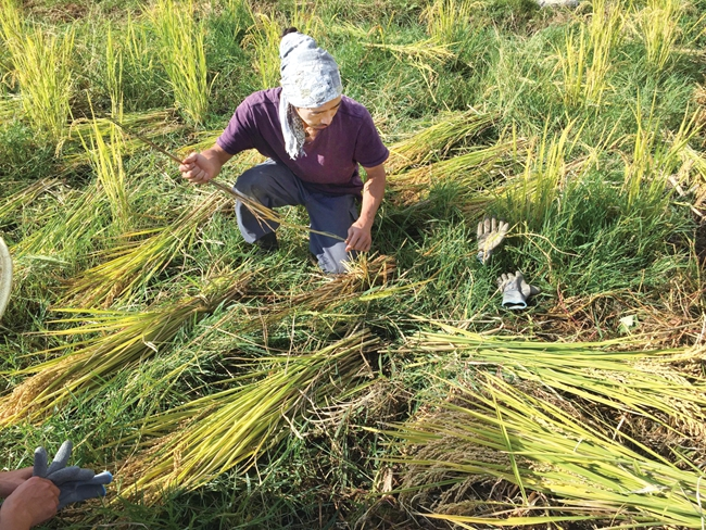 在稻田里忙碌的六。稻子收割后要晾晒几天,那是它们批准光和炎的末了时日。