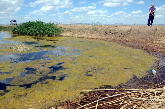 乌梁素海水面经常可见大量黄苔滋生,意味着水体已受到严重污染。摄影/章轲