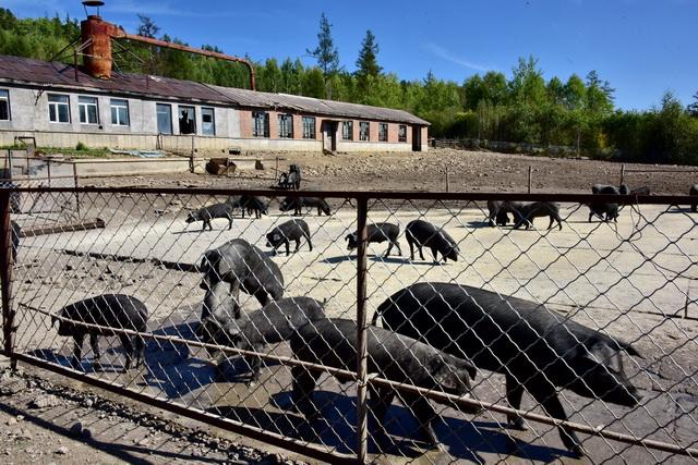在吉林省,自然保护区内养猪养鸡的情况并不罕见。图为吉林另一家自然保护区里的养猪场。摄影/章轲