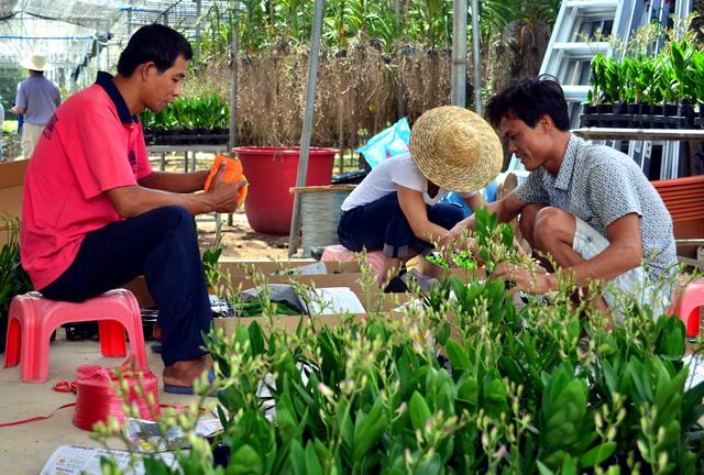 海南省东方市国营岛西林场员工正在打包运输成品花卉。摄影/章轲