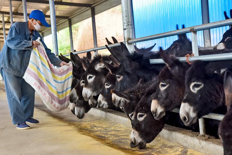 驴皮在整驴价格中约占三分之一,当前低迷的市场环境,直接影响养驴户的养殖热情。  东方IC图