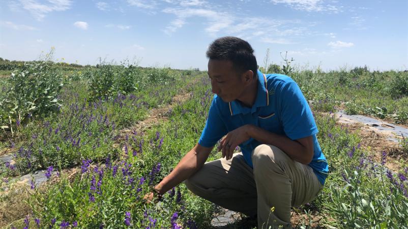 孟塬乡种植基地经理王龙在照料基地里中药材。 邵海鹏/摄