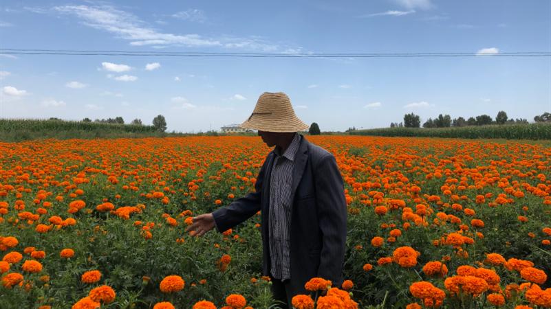 58岁的孟塬乡赵山庄村民郭明,今年把家里的12亩地都种成了万寿菊,因为种植效益好,每亩地一年可赚2600-2700元。 邵海鹏/摄