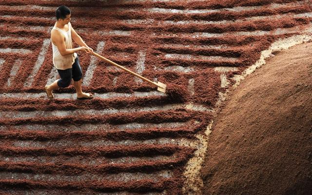 贵州省仁怀市茅台镇一家酒厂的酿酒工人把蒸好的糯高粱进行摊凉。新华社资料