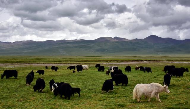 祁连山国家公园辖区内青海省祁连县野牛沟乡大浪村的牦牛。摄影/章轲