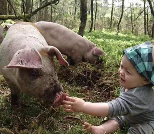"""挪威养殖业者力推""""蓝莓猪""""。"""