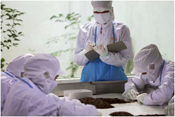 小罐茶员工在逐根挑选茶叶中的杂质