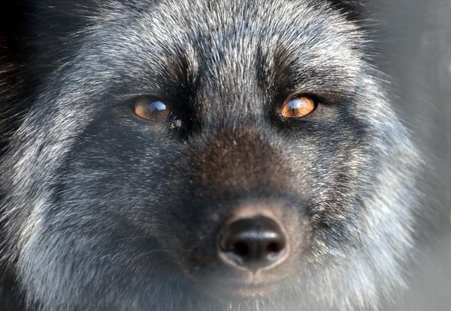 保护野生动物,就是保护人类自己。图为一只貉子忧郁的眼神。摄影/章轲