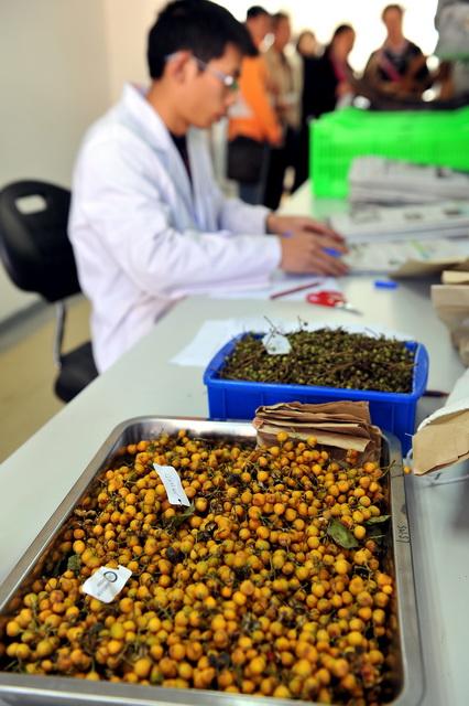 中科院昆明植物所。图为科研人员正在检查植物种子。摄影/章轲