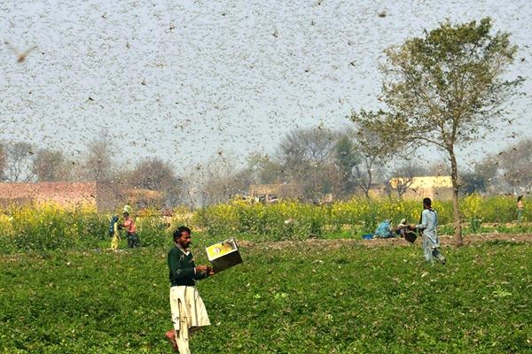 2月15日,在巴基斯坦东部旁遮普省奥卡拉地区,农民在田地里驱赶蝗虫。新华社