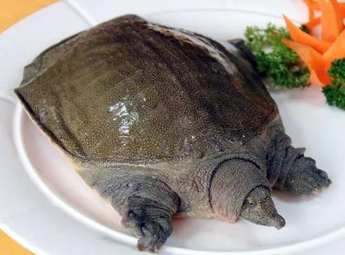 圈养和食用甲鱼已长时间存在。资料来源:渔行家在线