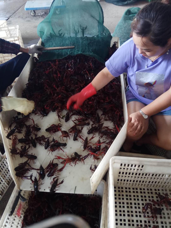 疫情冲击上下游:被饿瘦了的网红小龙虾,价格还可能大涨