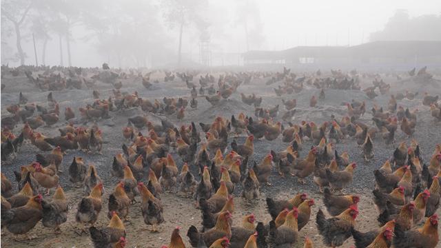 中小禽蛋养殖户亟盼饲料、鸡蛋运输通畅