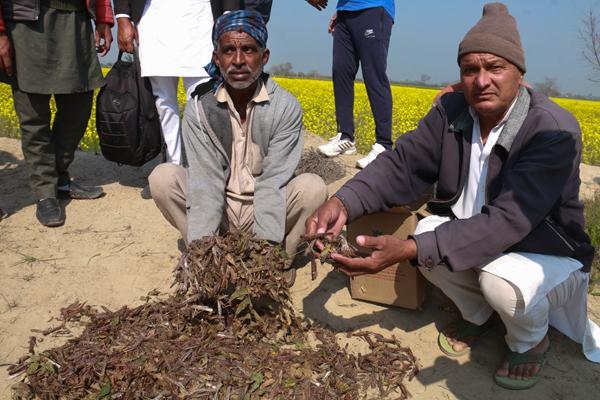 2月3日,在印度北部旁遮普邦法济尔加县,当地农民展示一片死掉的蝗虫。新华社