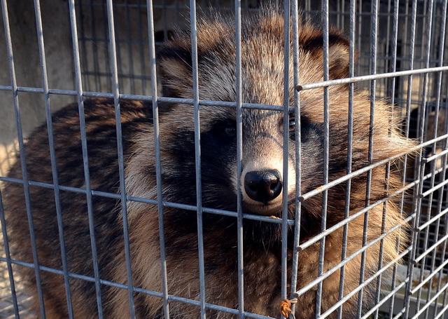 专家研判,2020年全国野生动物疫情将继续保持上升态势。图为河北一养殖场里的貉子。摄影/章轲