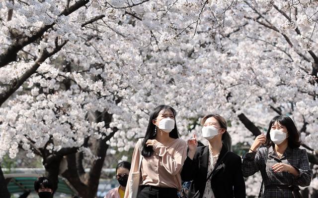 3月24日,在韩国大邱,当地市民走在樱花下。新华社