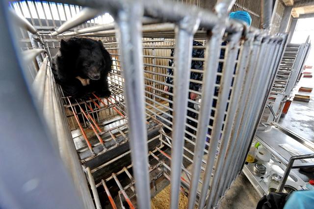 福建归真堂黑熊养殖基地,一头黑熊被人驱赶着进入铁笼,工作人员正在准备抽取其胆汁。摄影/章轲