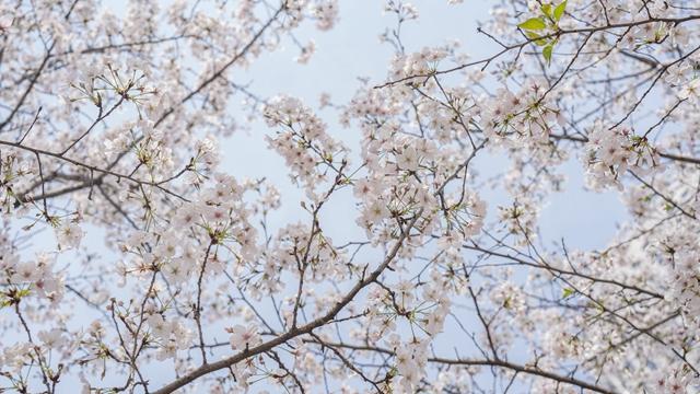 """""""今年日本樱花季已提前到来——""""樱花经济""""却难盛开"""