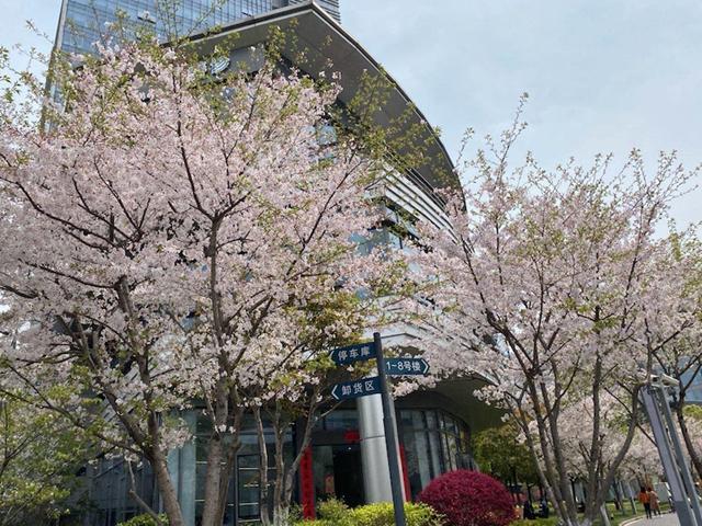 张江科学城里盛开的樱花。摄影/金叶子